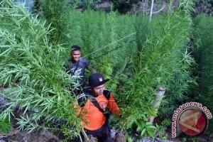 Polisi gerebek ladang ganja tangkap seorang tersangka