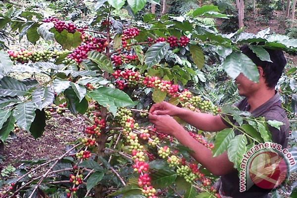 Potensi produksi kopi arabica 1,5 ton