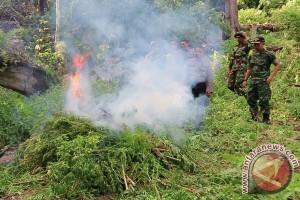 Polisi Musnahkan 100 Ribu Batang Ganja Beutong
