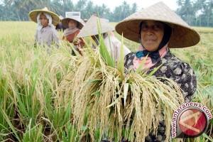 Upah buruh panen padi di Abdya naik