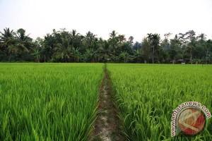 Produktivitas Pertanian Nagan Raya Turun