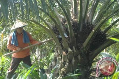 11.000 Hektar Sawit Masyarakat Abdya Sudah Produksi