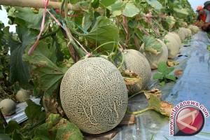 Produksi melon Dewantara cukupi kebutuhan Aceh Utara