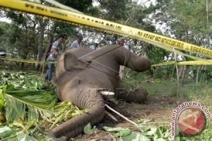 Seekor gajah ditemukan mati tanpa gading