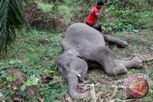 Seekor gajah ditemukan mati di Aceh Besar
