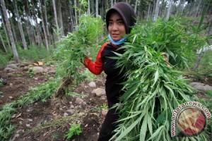 BNN Aceh fokuskan program pengalihan tanaman ganja