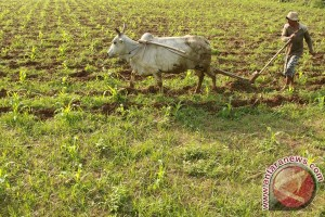 Kota Subulussalan sediakan 2 hektare lahan jagung