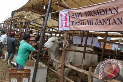 Kontes Sapi di Aceh