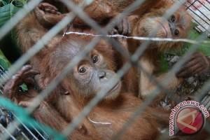 BKSDA evakuasi orangutan di perkebunan sawit