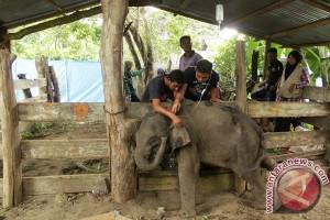 Anak gajah mati dalam perawatan di Aceh
