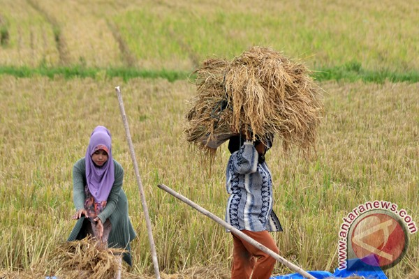 Musim panen harga beras di Lhokseumawe turun