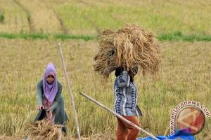 KTNA akan tampung gabah petani Aceh Jaya