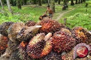Kelapa sawit di Aceh Utara masuki masa panen