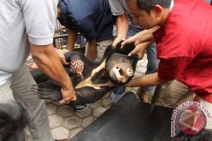 Beruang madu diamputasi karena terjerat perangkap babi