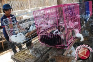 Pengembangan ternak kelinci berpotensi di Lhokseumawe