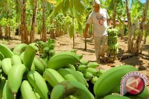 Pengadaan bibit pisang Aceh Selatan menyimpang