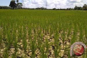 Tanaman padi di Aceh Barat terancam mati