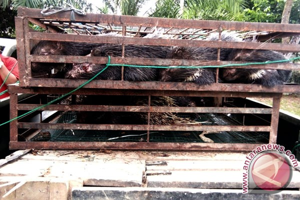 Polisi Singkil tangkap penyeludup landak