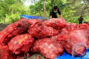 Pemusnahan Bawang Merah Ilegal