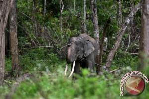 Gajah Jinak CRU