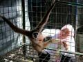 Petugas medis Balai Konservasi Sumber Daya Alam (BKSDA) Aceh memeriksa kondisi salah satu satwa langka dan dilindungi Owa Sumatra atau dikenal juga dengan sebutan Ungko yang diserahkan warga di tempat rehabilitasi hewan BKSDA, Banda Aceh, Aceh, Kamis (2/11). Warga secara sukarela menyerahkan tiga Owa Sumatra dan seekor Elang Brontok peliharaannya untuk direhabilitasi sebelum dilepasliarkan kembali kehabitatnya. (ANTARA FOTO/Irwansyah Putra/pd/17)