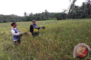 Petani di Tamiang tinggalkan tanam padi pulut