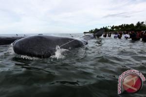Empat paus mati diduga terkena jamur