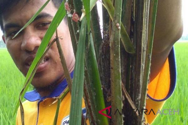 Keong mas ancam produksi padi di Aceh Barat