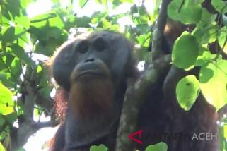 Orangutan turun ke perkebunan warga di subulussalam