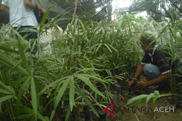 Masyarakat Aceh Barat budidaya tanaman jernang