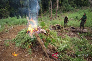 TNI temukan ladang ganja 20 hektare di Bireuen