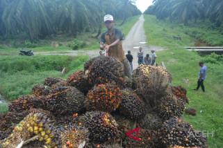 Meski harga anjlok petani Abdya diimbau tidak jual kebun kelapa sawit