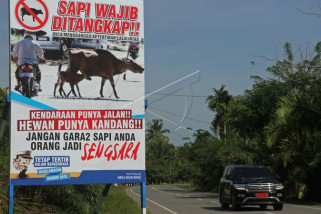 Wajib tangkap sapi penganggu lalulintas