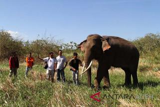 Gajah nyasar di Subulussalam akan dipindahkan gunakan helikopter