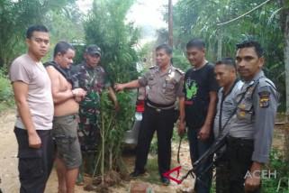 TNI/Polri musnahkan ganja dan tangkap pemilik kebun