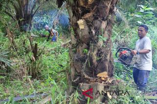Harga kebun kelapa sawit di Abdya mulai turun
