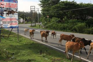 Bahaya sapi di jalan raya