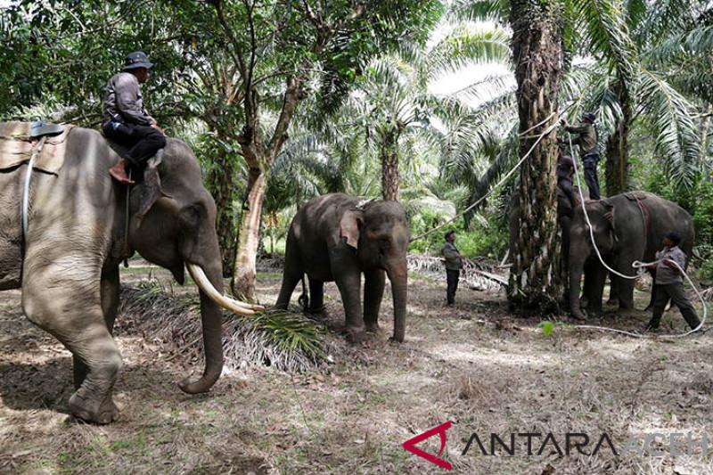 Penangkapan gajah liar
