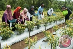 Panen Cabai di Maluku