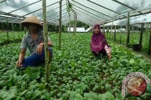 Petani Ambon Terus Penuhi Kebutuhan Sayur Masyarakat