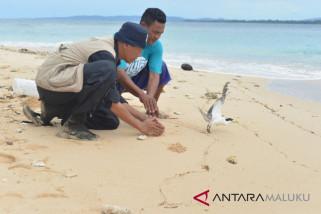 BKSDA Maluku - BirdLife lakukan penandaan burung dara