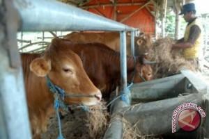 Peternak Sapi di Kabupaten Bangka Butuh Fasilitas Kandang yang Layak