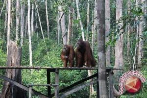 25 Tahun Yayasan BOS 2000 Orangutan Terselamatkan