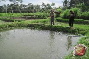 Petani Lokal Kewalahan Penuhi Permintaan Ikan Mas