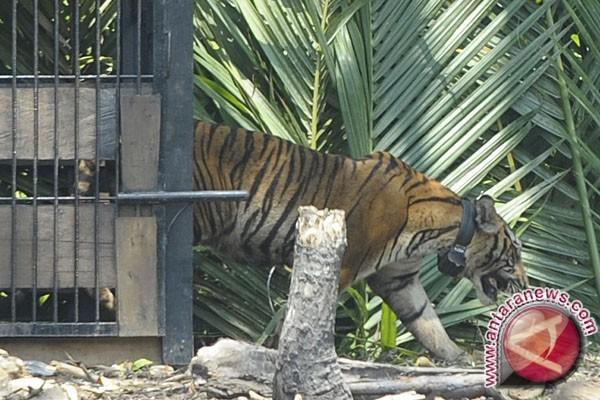 Meru Betiri akan dipasang puluhan video pemantau harimau Jawa