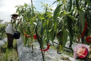 Petani Berhasil Tanam Cabai di Lahan Tambang
