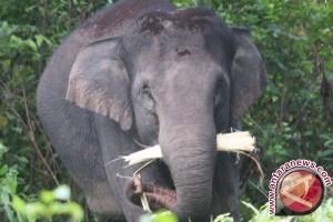Populasi Gajah Afrika Merosot Akibat Perburuan