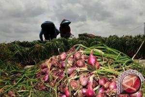 Petani Bawang Bangka Tengah Untung Rp300 Juta