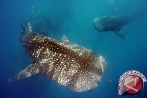 """Separuh Spesies Hiu dan Pari Mediterania """"Berisiko Punah"""""""
