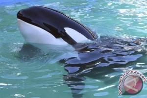 Paus Orca Kembali Terlihat